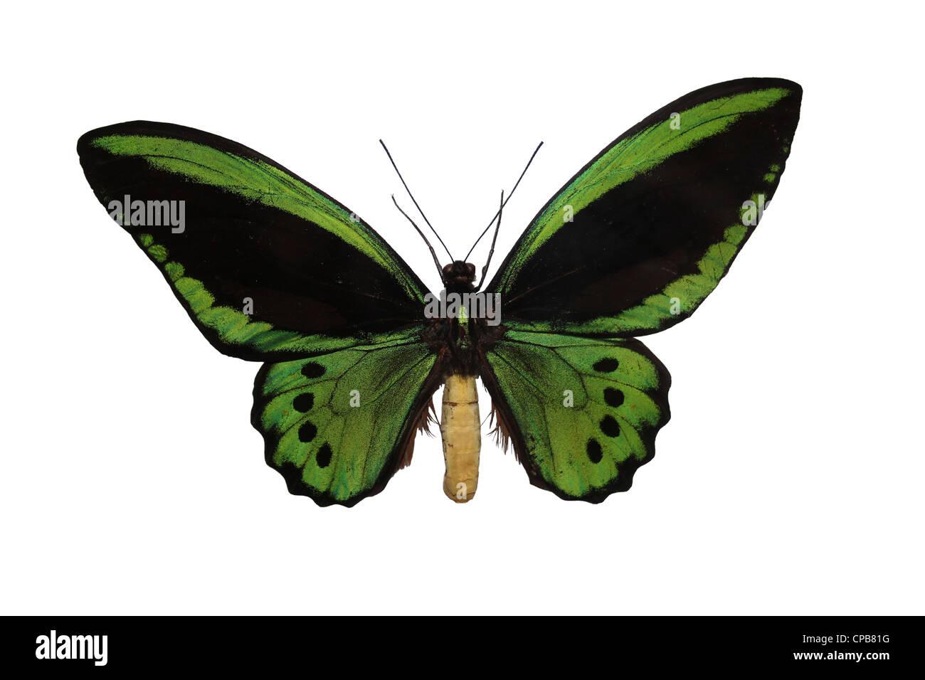 Richmond Vogelfalter Ornithoptera richmondia Stockbild