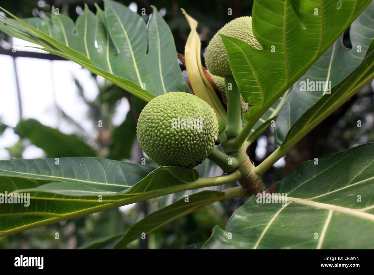 Brotfrucht (Artocarpus Altilis) Stockbild