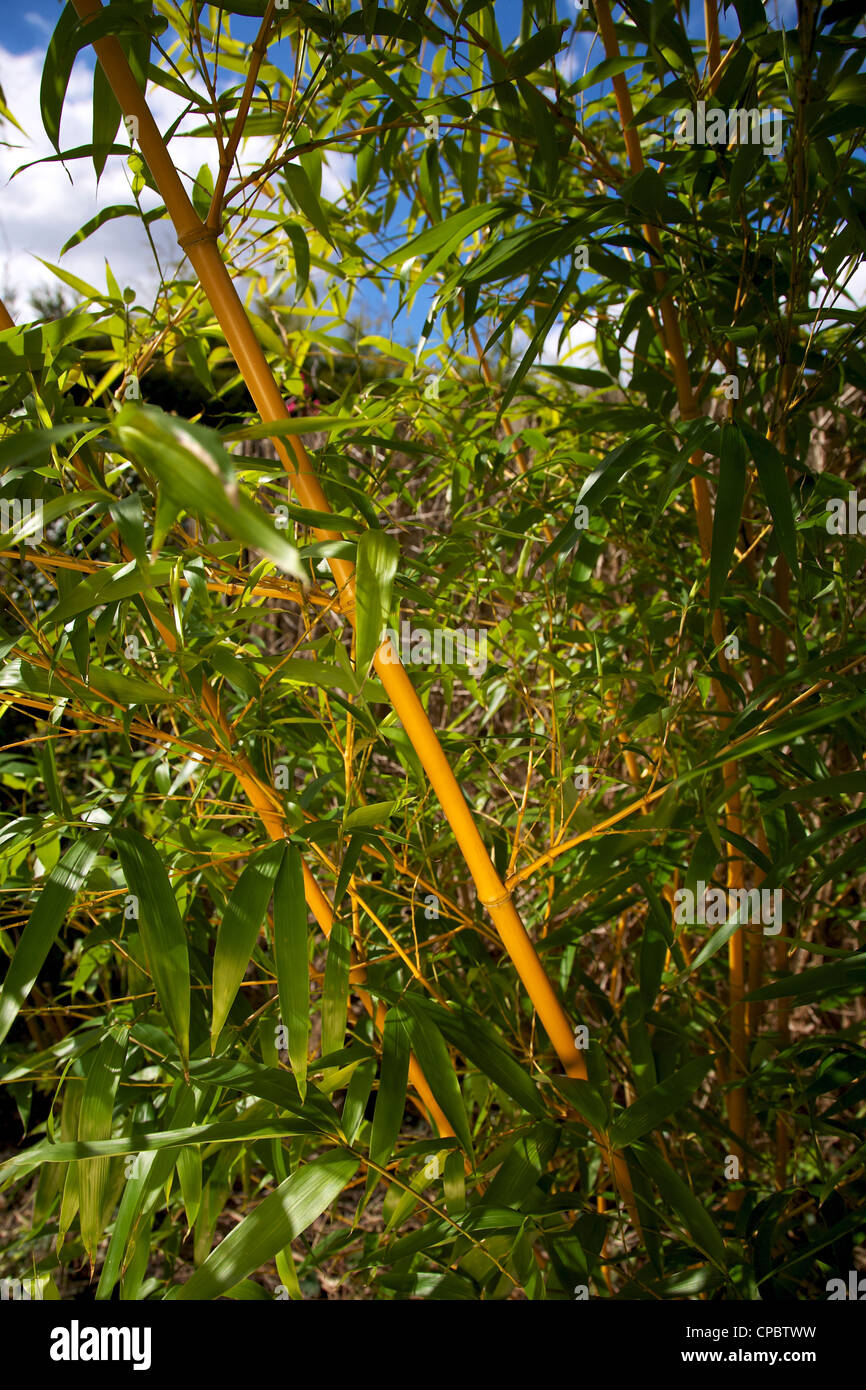 Bambus Phyllostachys Bissetii Gräser im Garten Grenze Stockfoto ...