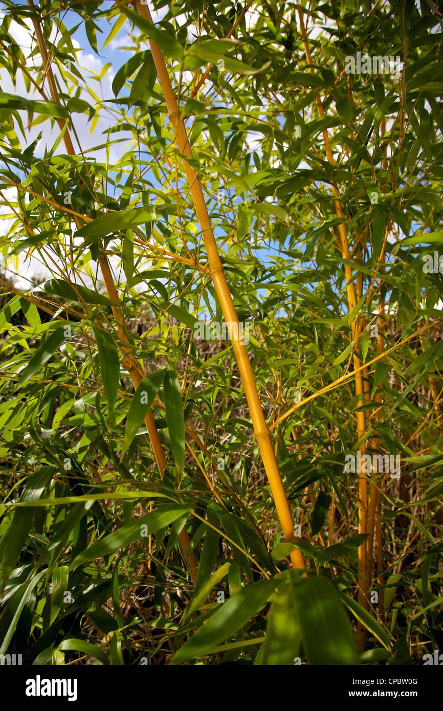 Bambus Phyllostachys Bissetii Graser Im Garten Grenze Stockfoto
