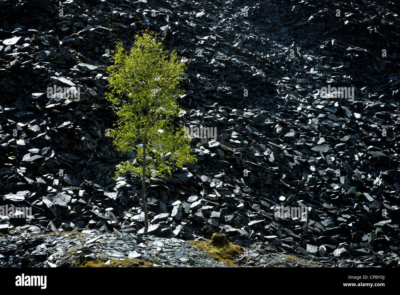 Baum wächst auf Beute Heap, Tilberthwaite Schiefer Steinbrüche in der Nähe von Coniston, Nationalpark Stockbild