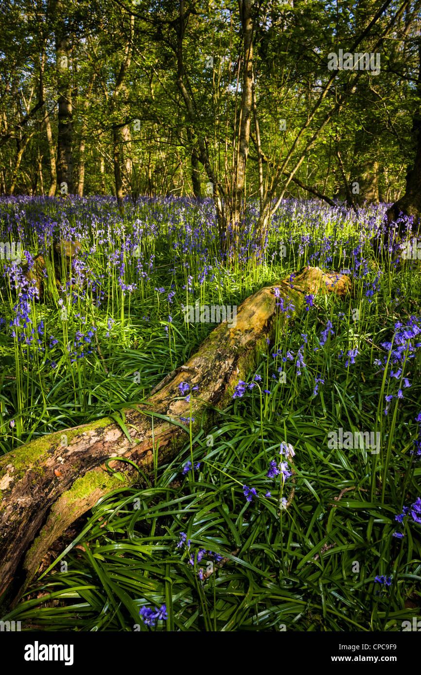 Frühling Bluebell Holz Stockbild
