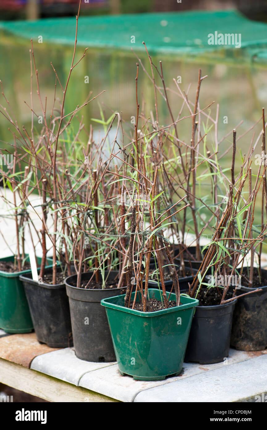 Lathyrus Tingitanus, Tanger Erbsen Pflanzen in Töpfen Stockbild