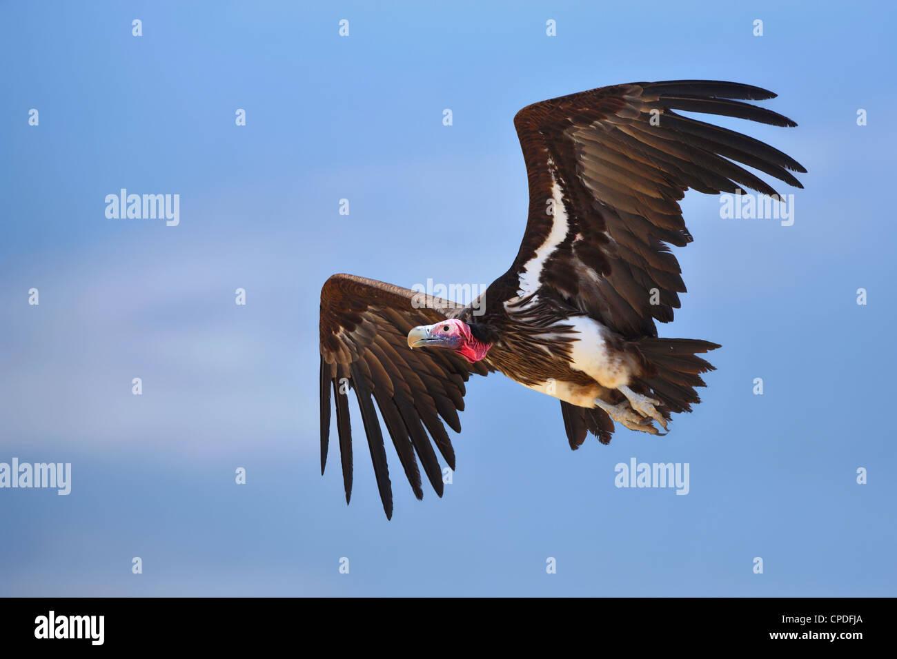 Ohrengeier-faced Vulture im Flug; Torgos Tracheliotus; Südafrika Stockbild