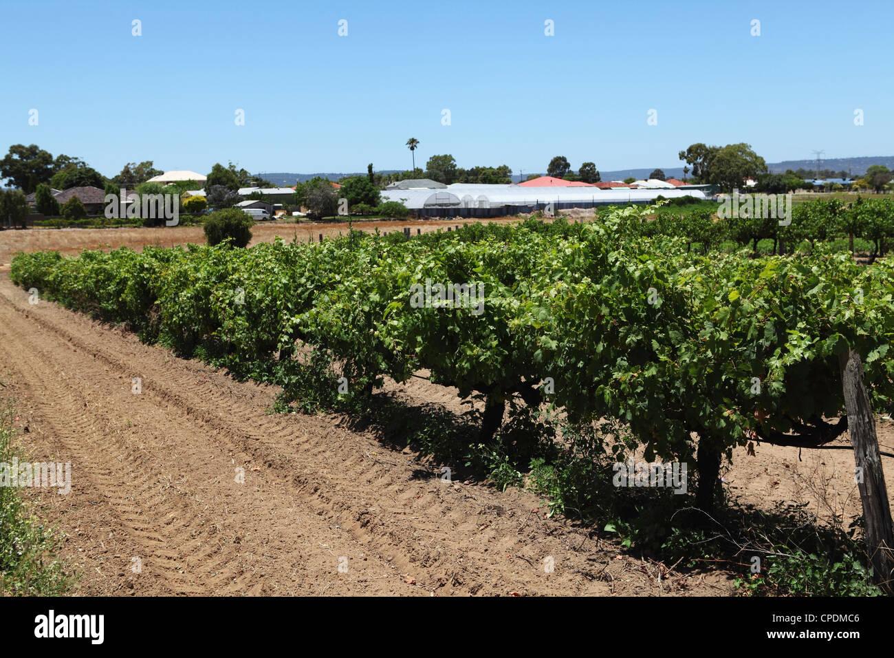 Reben Reifen in einem Weinberg im Swan Valley, ein großer Wein produzierenden Bereich, in der Nähe von Guildford, Stockfoto