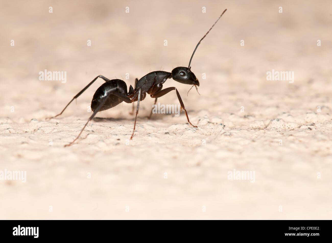 Rossameise isoliert auf weißem Hintergrund. Diese Ameise ist ein großer Schädling an Häusern Stockbild
