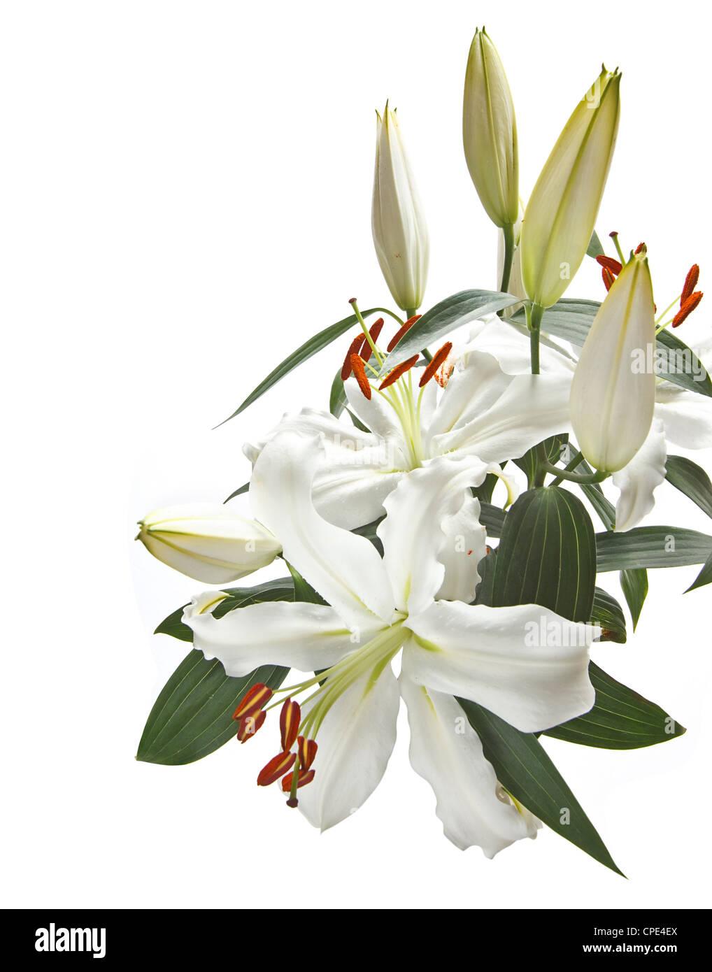 Reihe von weißen Lilien beliebt bei Hochzeiten und Beerdigungen, isoliert auf weißem Hintergrund Stockbild