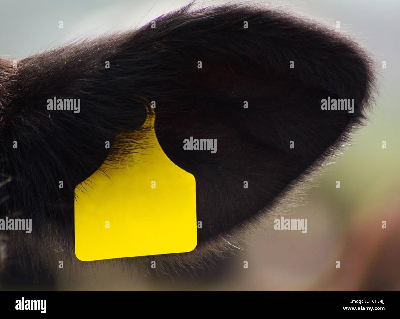 Kuh-Erkennungsmarke im Ohr mit Platz für text Stockbild