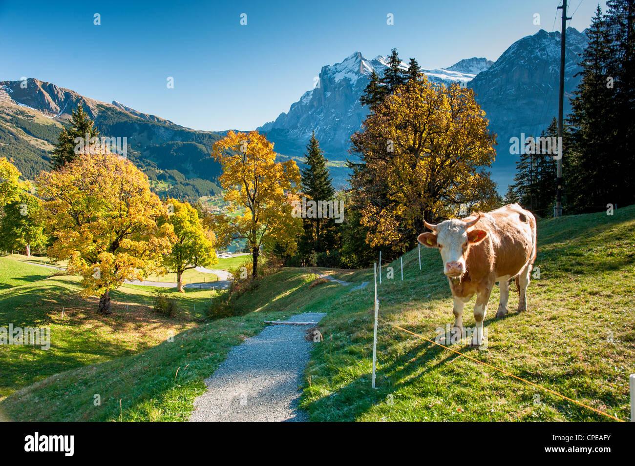 Wanderweg auf der alm mit Kühen über Grindelwald im Herbst, Schweiz Stockbild