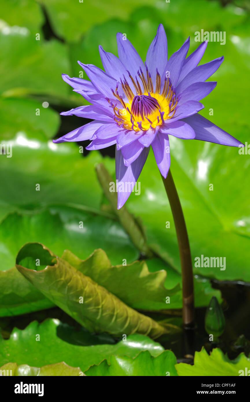 Tropische Seerosen Nymphaea Regisseur G.T Moore im Botanischen Garten von Belgien bei Meise Stockbild