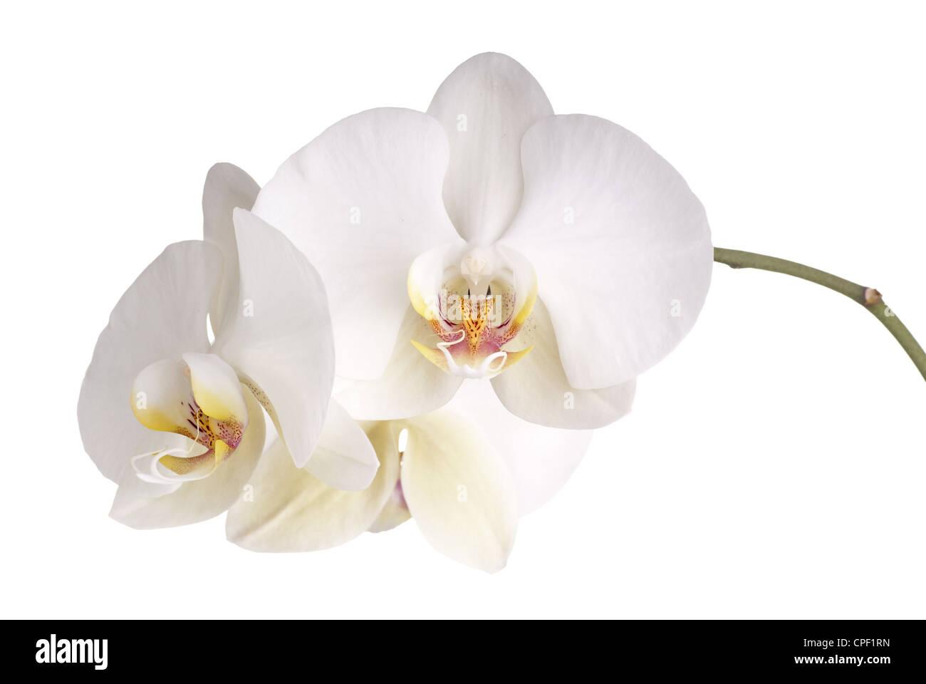 Pearly weißen Phalaenopsis-Orchideen Stockbild