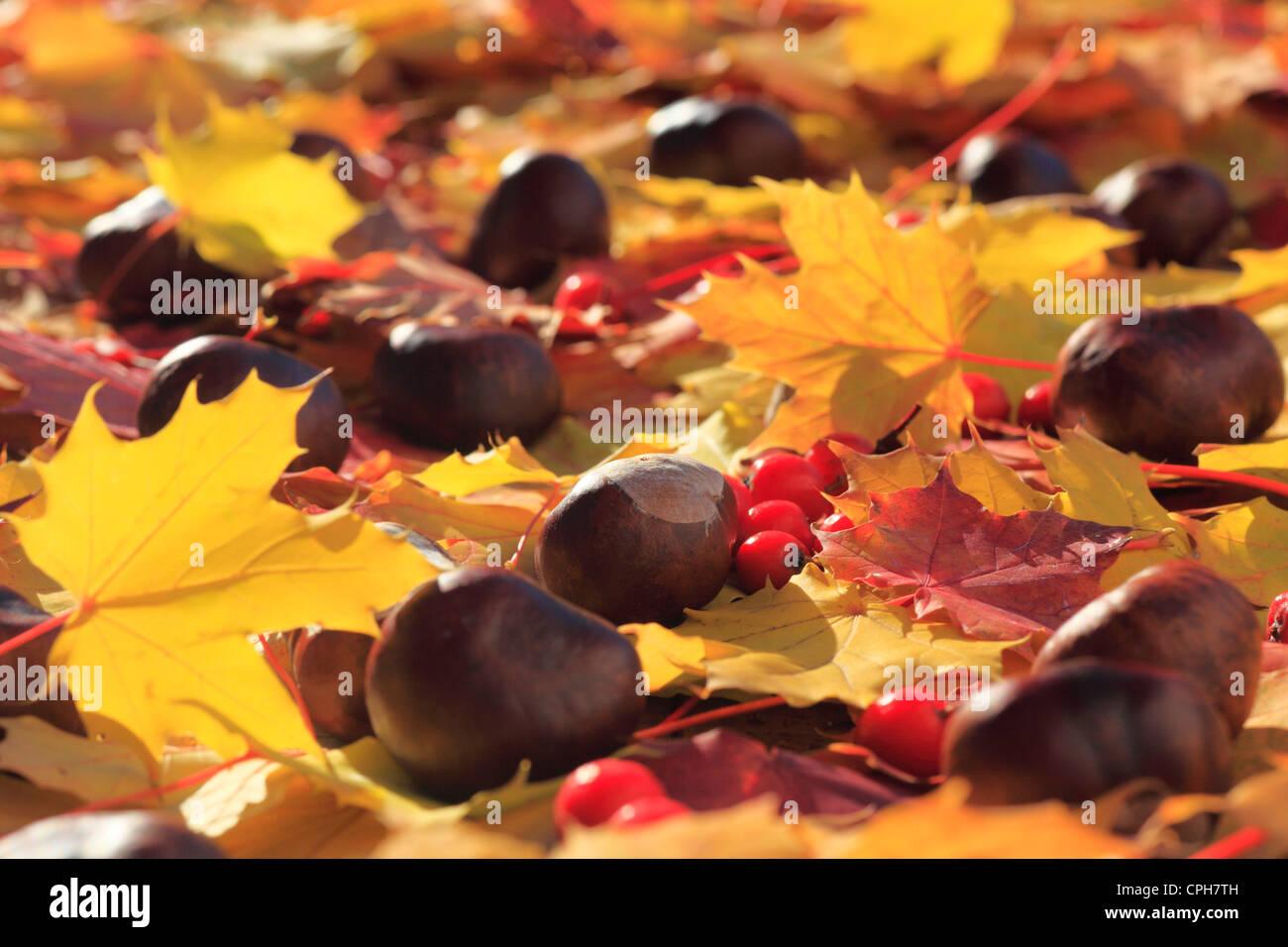 Ahorn, Beere, Beeren, Blatt, Blätter, Detail, Gegenlicht, Herbst, Herbst Farbe, Herbstfarben, Herbstlaub, Färbung, Stockbild