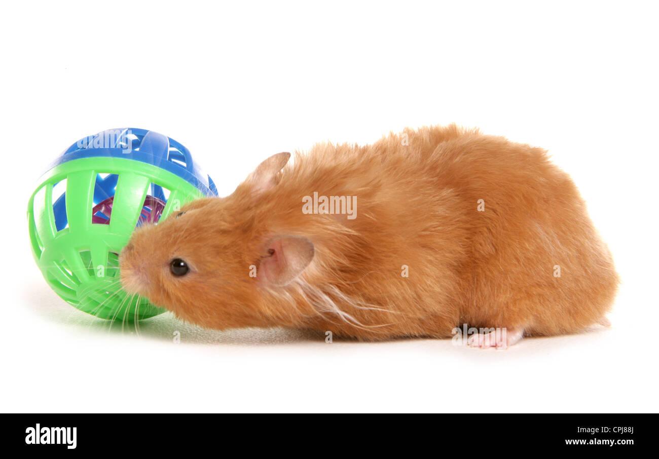 Hamster Erwachsenen-Röhre