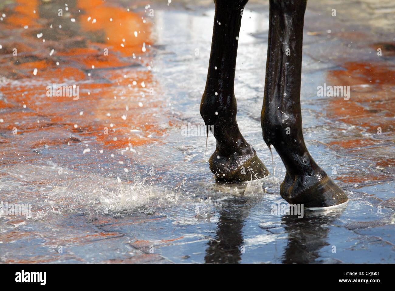 Nassen Vorderbeinen eines Pferdes, Hamburg, Deutschland Stockbild
