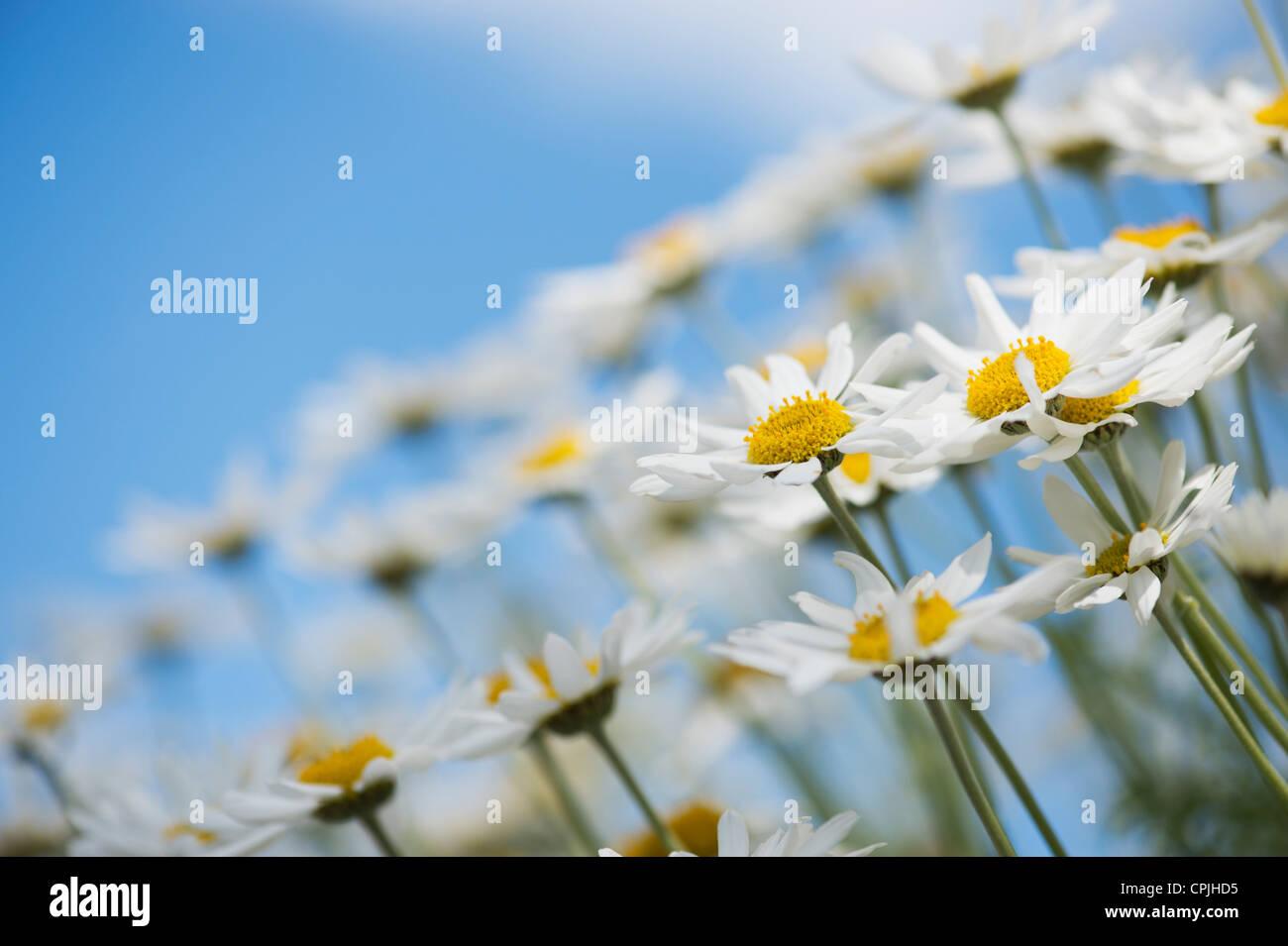 Argyranthemum Frutescens 'Madeira White'. Marguerite Daisy. Blumen-Dill Gänseblümchen gegen blauen Stockbild