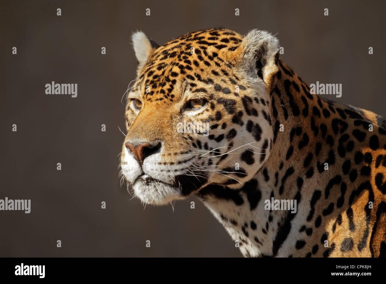 Porträt eines männlichen Jaguars (Panthera Onca) Stockbild