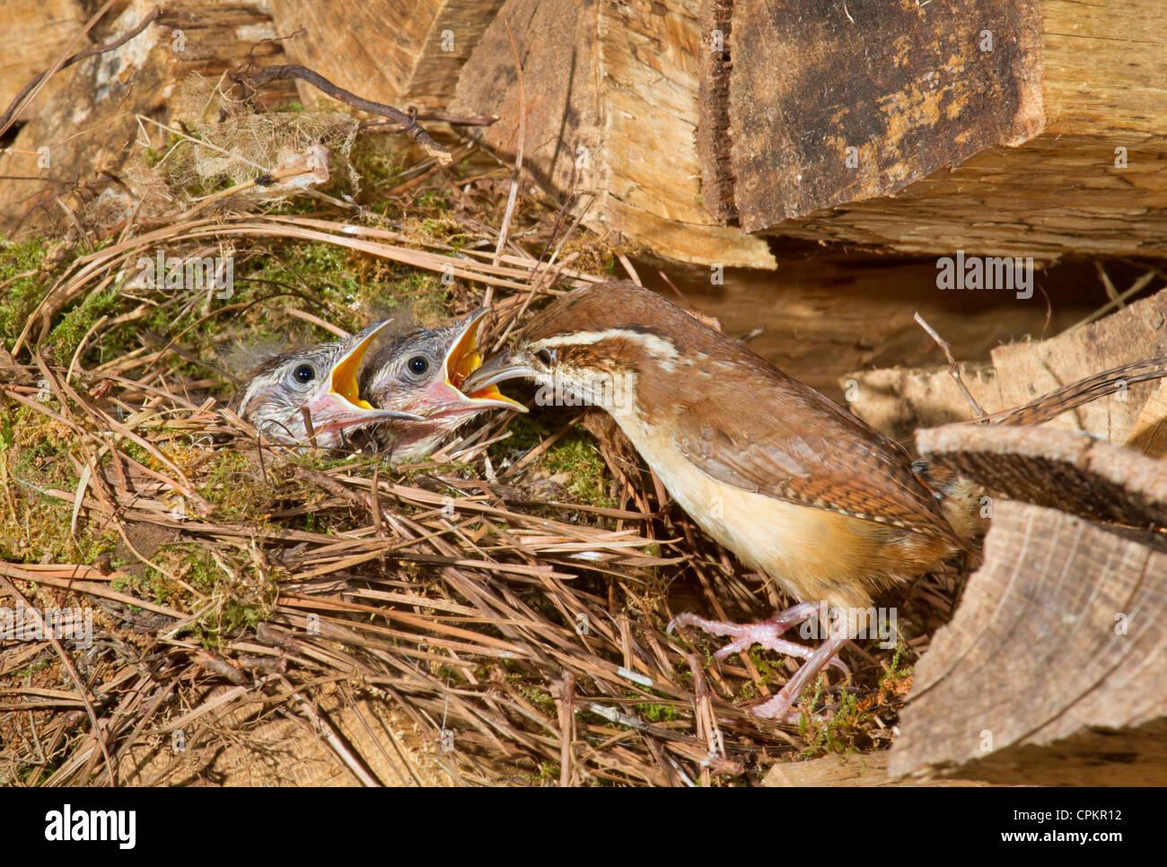Wren Nest Stockfotos Wren Nest Bilder Alamy