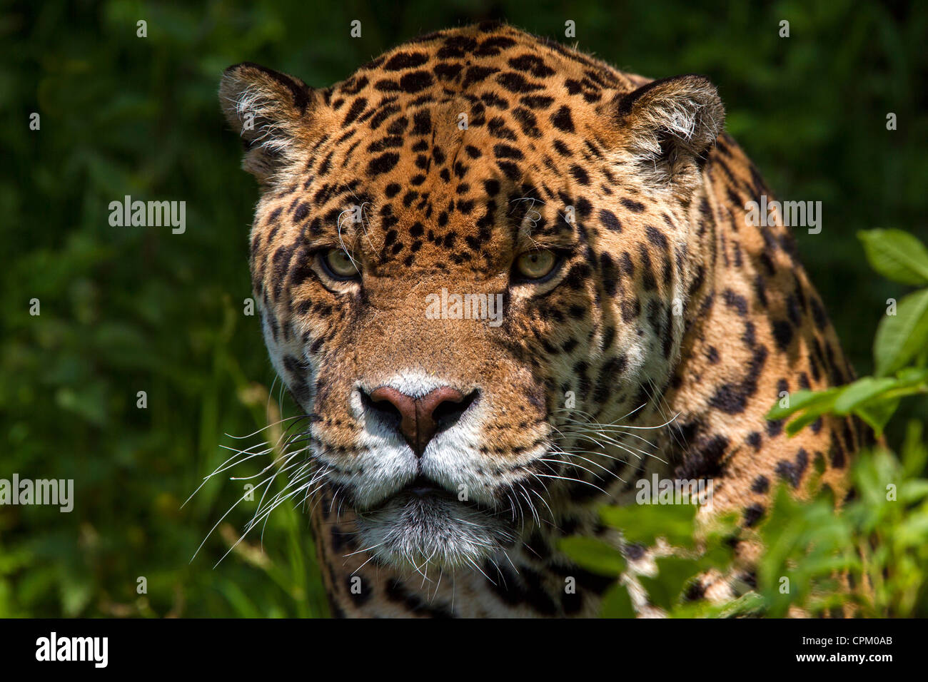 Jaguar Stockbild