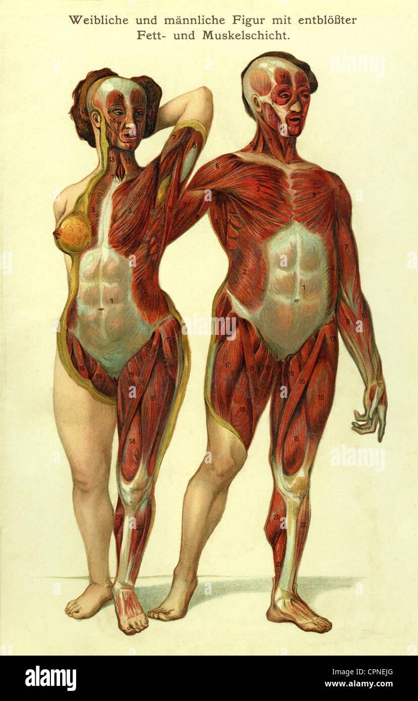 Medizin, Anatomie, Mann und Frau, Muskel-Schichten, anatomische ...