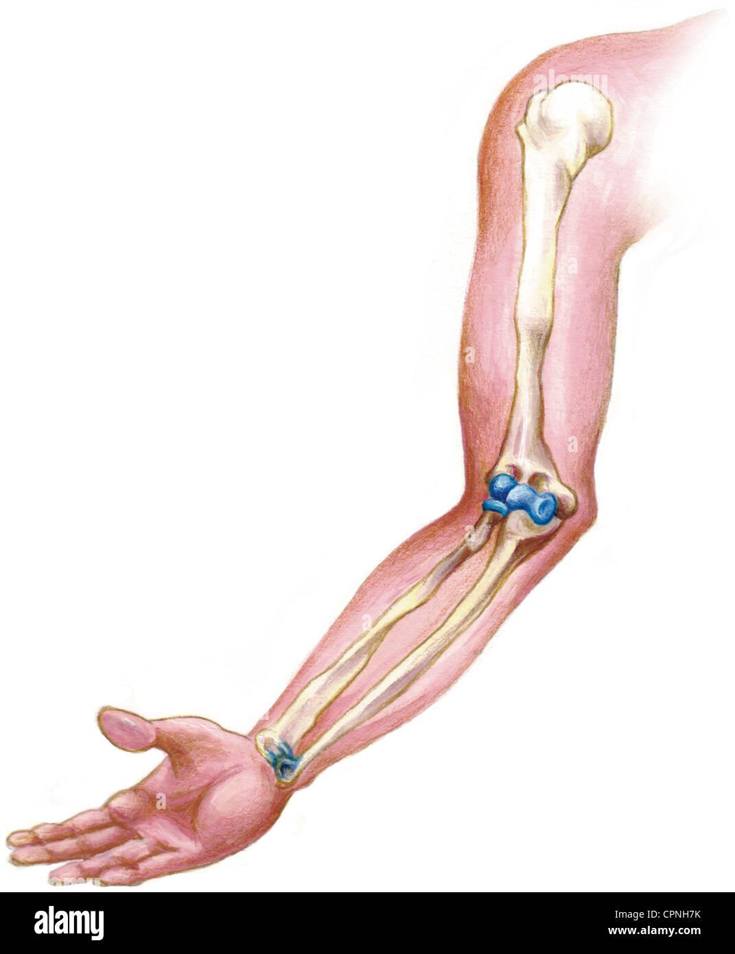 Human Upper Arm Bone Humerus Stockfotos & Human Upper Arm Bone ...