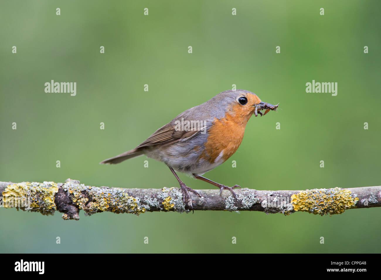 Robin thront auf einem Ast mit Raupen im Schnabel Stockbild