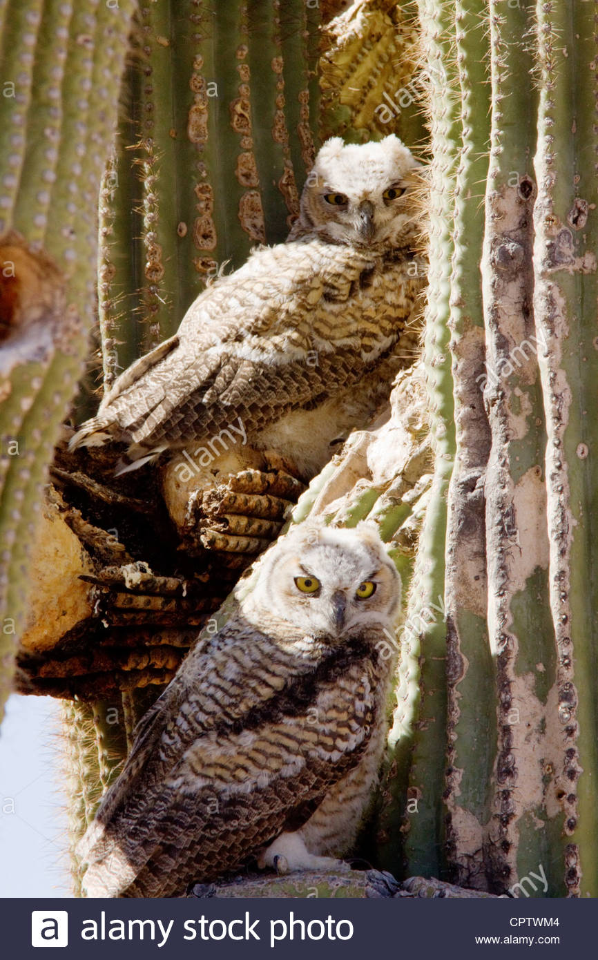 Großen Uhus Bubo Virginianus Küken 2 auf Saguaro Kaktus Arizona Stockbild
