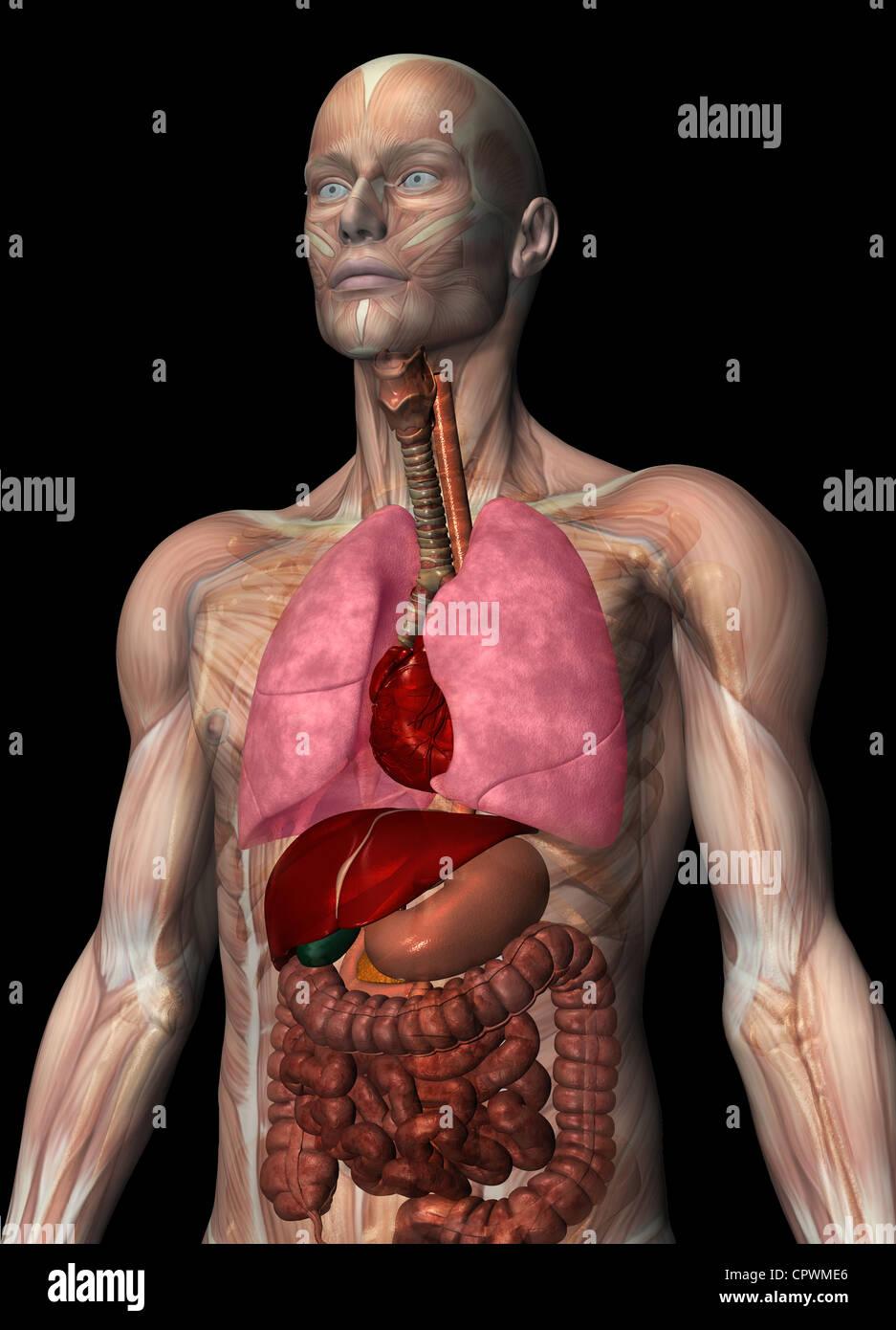 Anatomische Darstellung des menschlichen Körpers Stockfoto, Bild ...