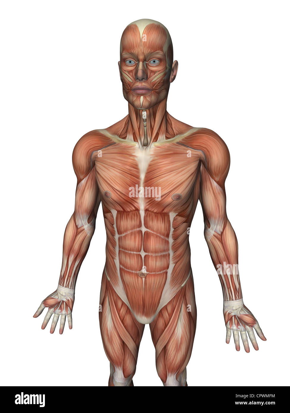 Anatomische Darstellung des menschlichen Körpers zeigt die ...