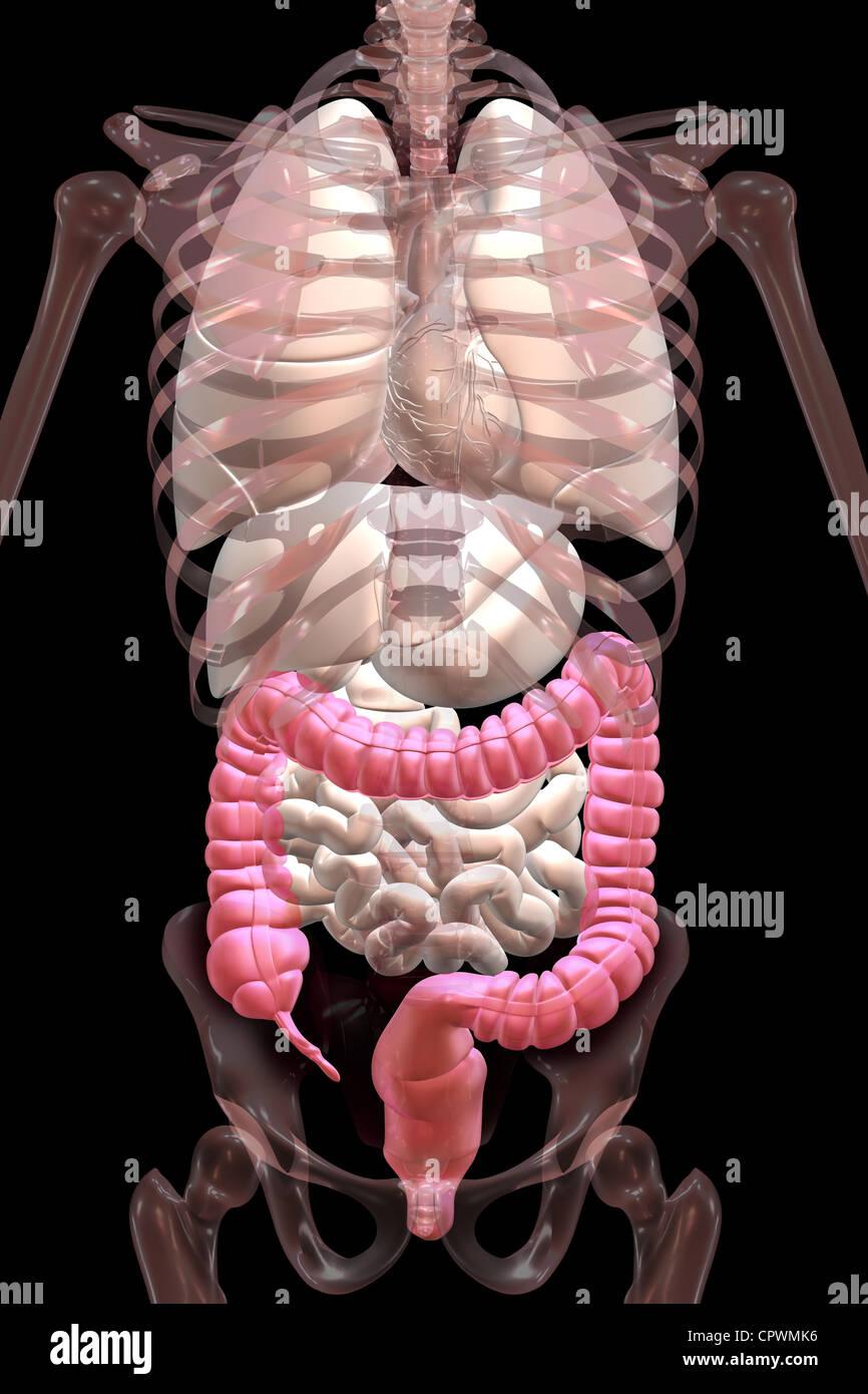 Anatomische Darstellung der Appendix, Blinddarm und Dickdarm ...