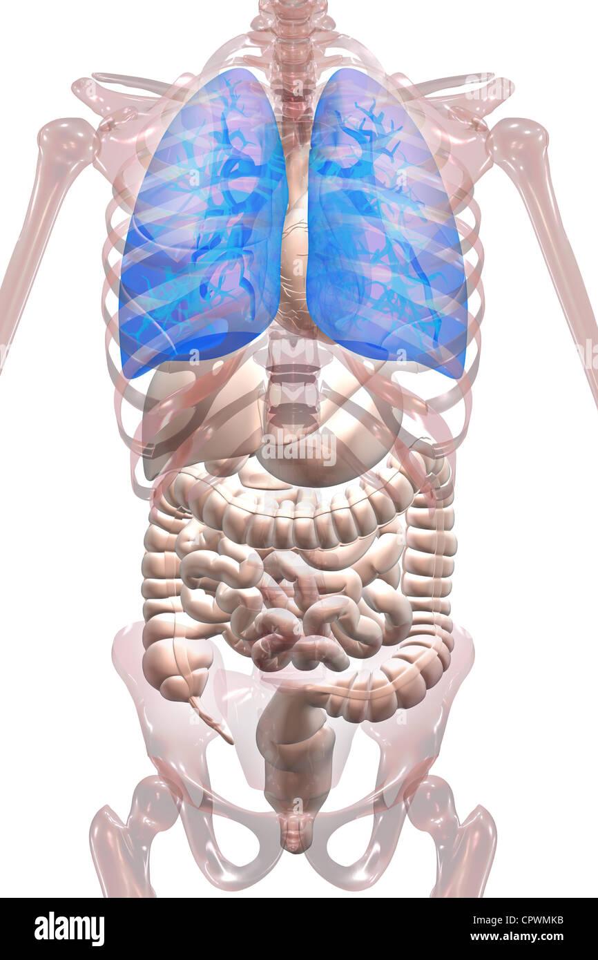 anatomische Darstellung des menschlichen Körpers zeigt die Lunge und ...