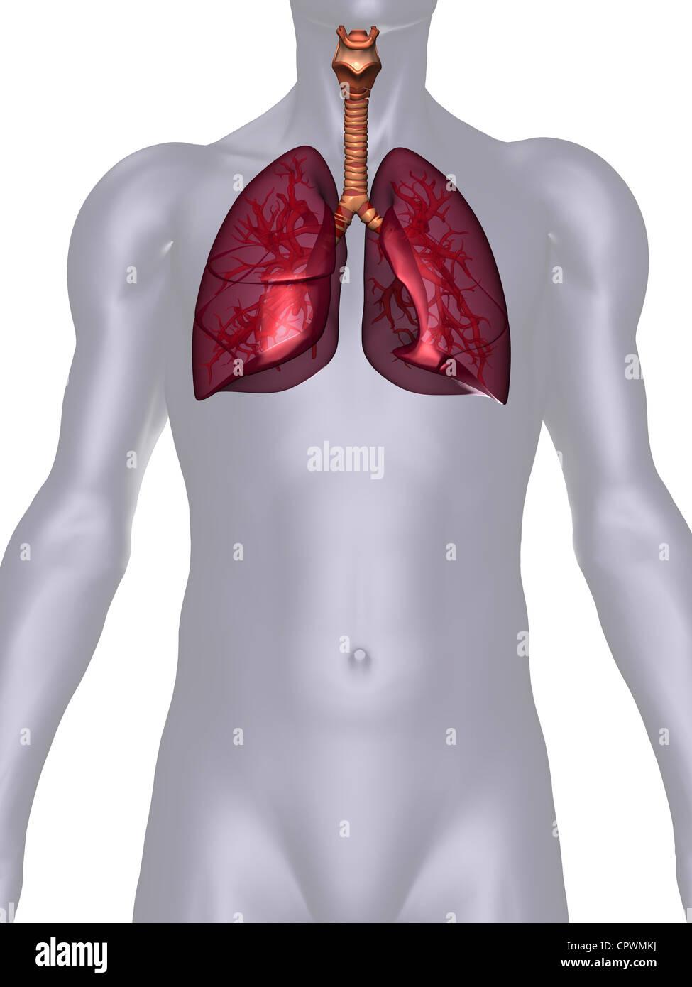 anatomische Darstellung des menschlichen Körpers zeigt die Lunge ...