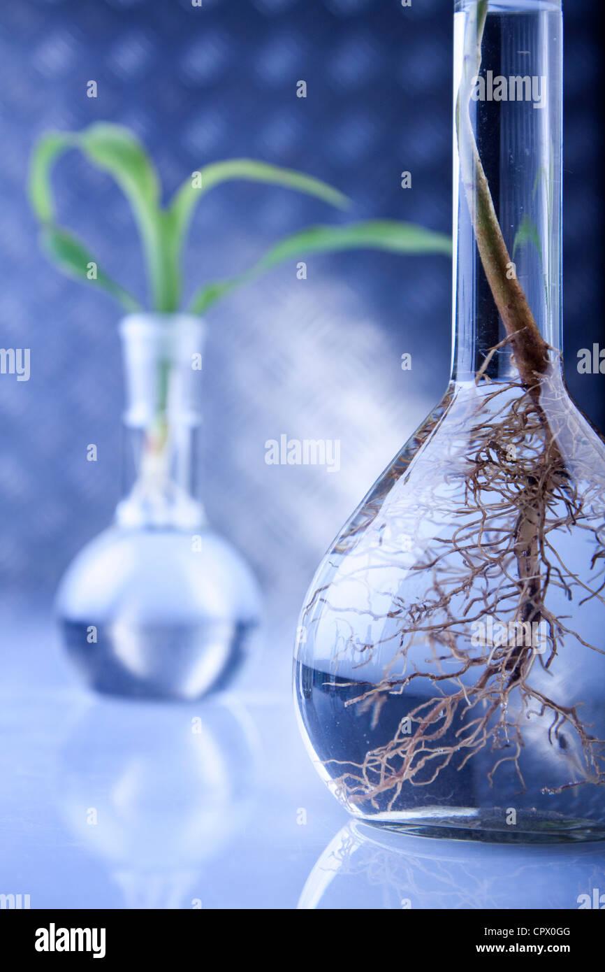 Laborglas, Experimente mit Pflanzen Stockbild