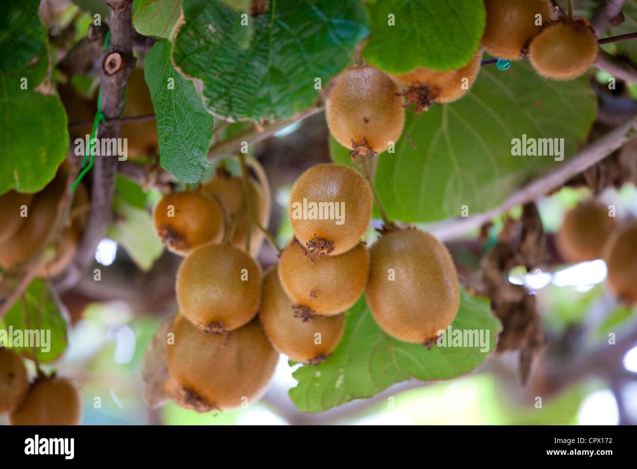 Kiwifrucht wächst Landgut von La Fornace in Montalcino in Val D'Orcia, Toskana, Italien Stockbild