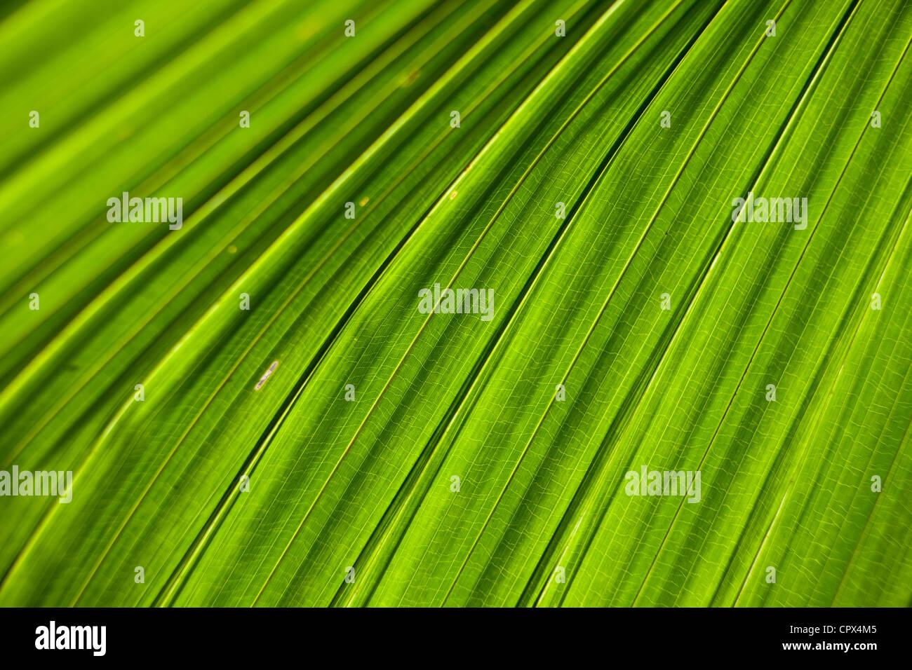 Blatt Detail, Siquijor, die Visayas, Philippinen Stockbild