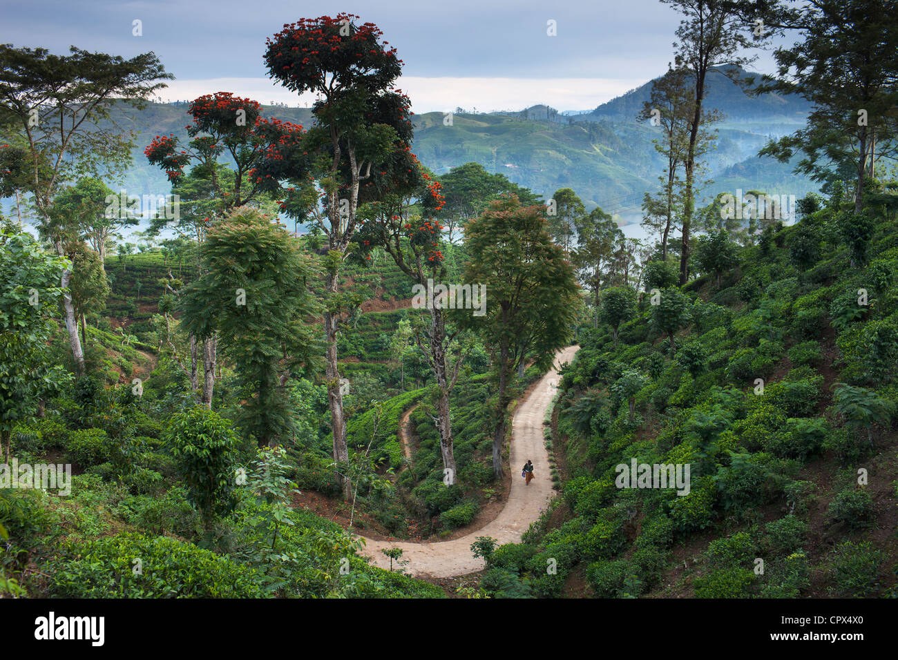 eine Teeplantage in der Nähe von Hatton, Hochland, Sri Lanka Stockfoto