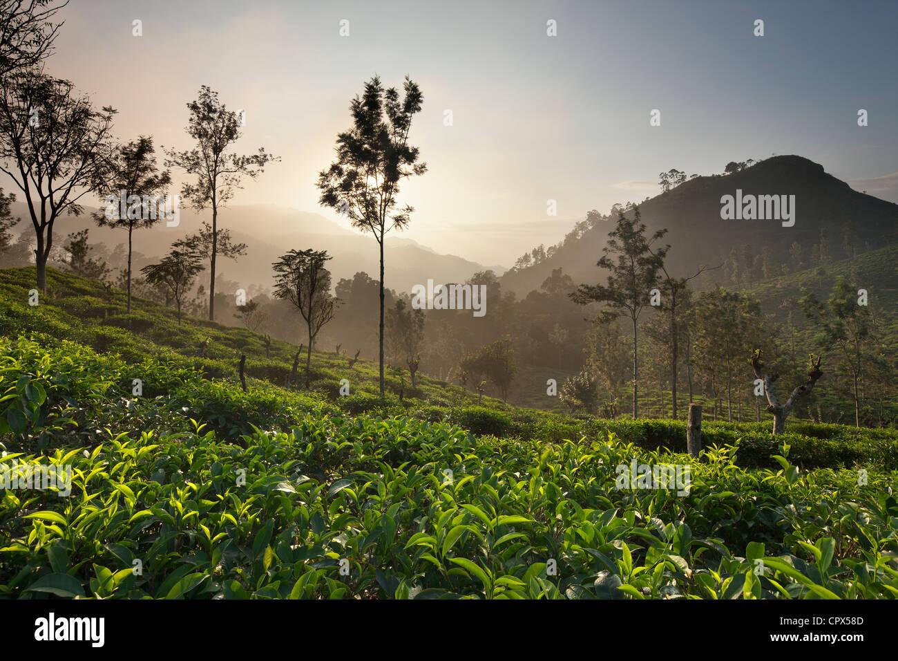eine Tee-Plantage nr Ella mit wenig Samson Peak (rechts), Southern Highlands, Sri Lanka Stockbild