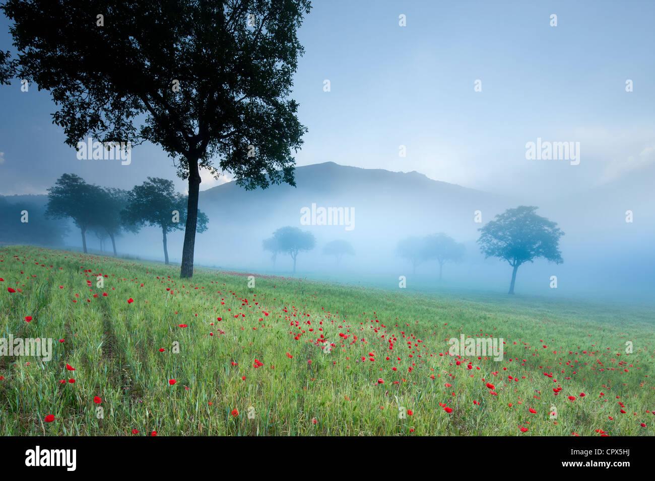 Mohnblumen in einem Feld nr Norcia, Umbrien, Italien Stockbild