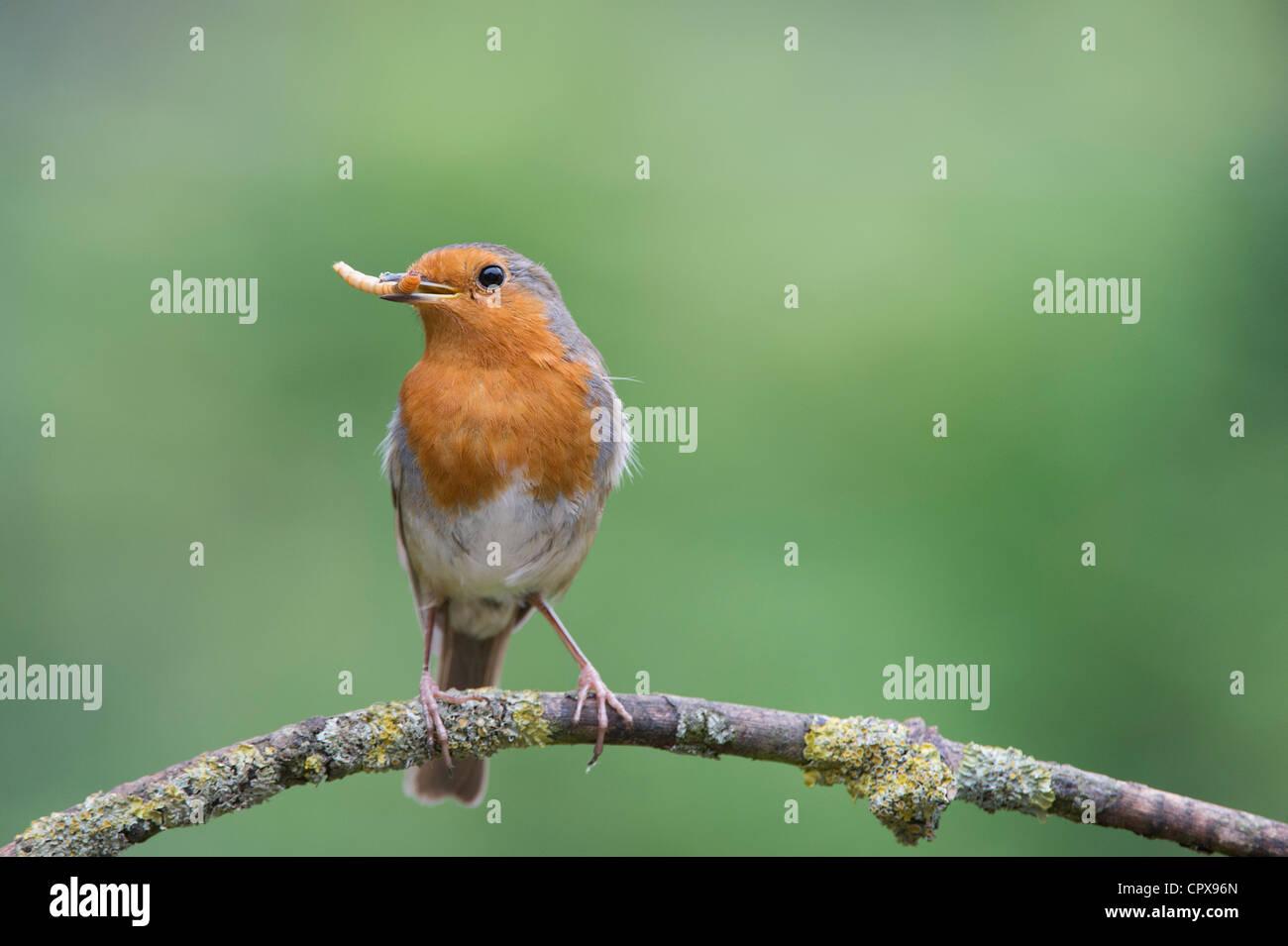 Robin thront auf einem Ast mit einem Mehlwurm im Schnabel Stockbild
