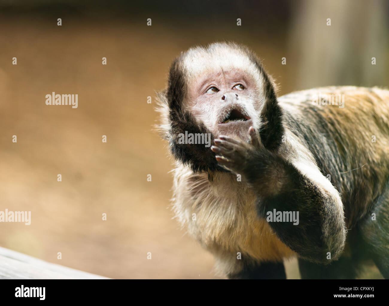 Getuftete Kapuziner Affen (Sapajus apella) mit frechen nachdenklichen Ausdruck. Stockbild