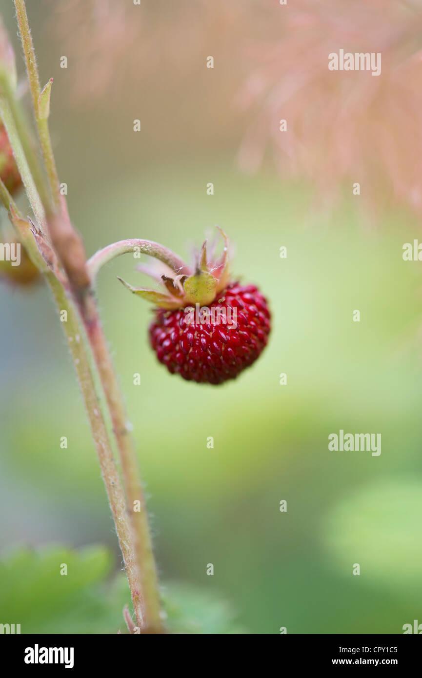 Fragaria Vesca. Wald Erdbeere Frucht. Wilde Erdbeeren Stockbild