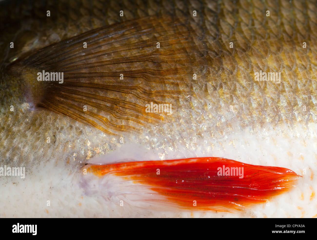 Haut und Schuppen ein 1,1 kg Süßwasser Barsche (Percha Fluviatilis) Stockfoto