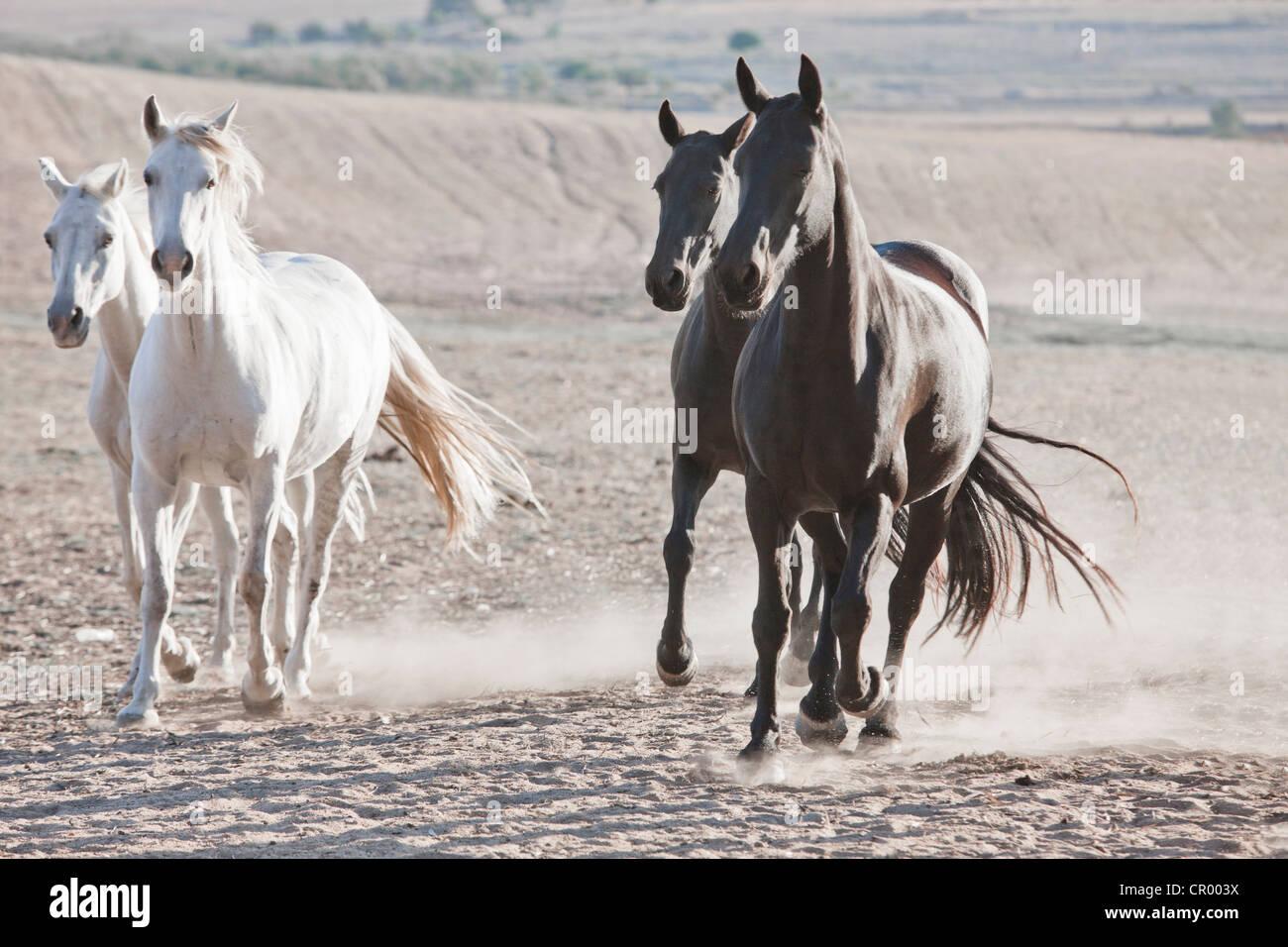 Pferde laufen in staubigen Stift Stockbild
