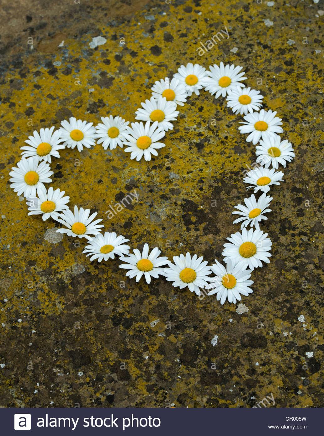 Leucanthemum Vulgare. Oxeye Daisy Blume Herzform auf Flechten bedeckt Stein Stockbild