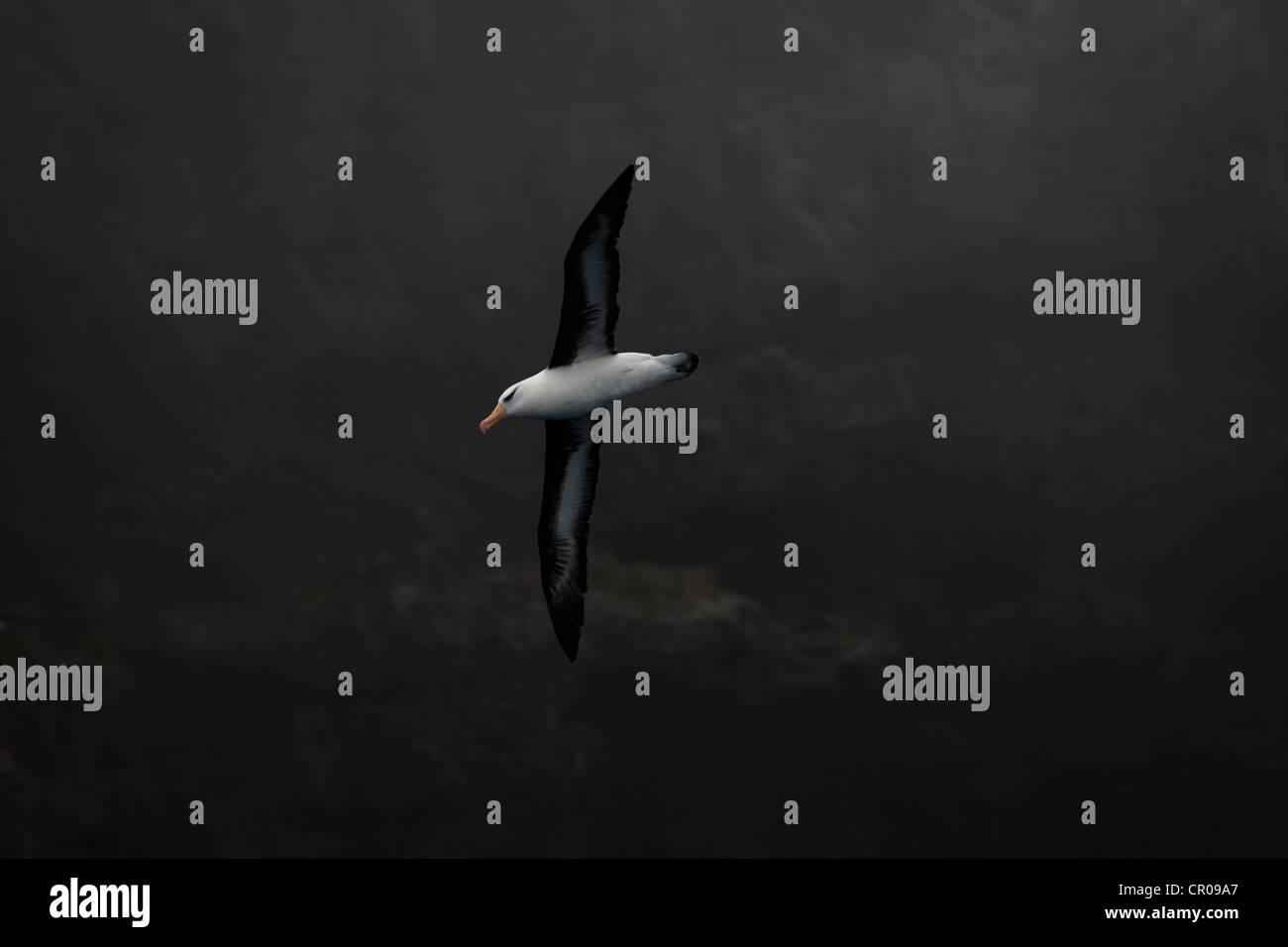 Campbell-Albatros im Flug Stockbild