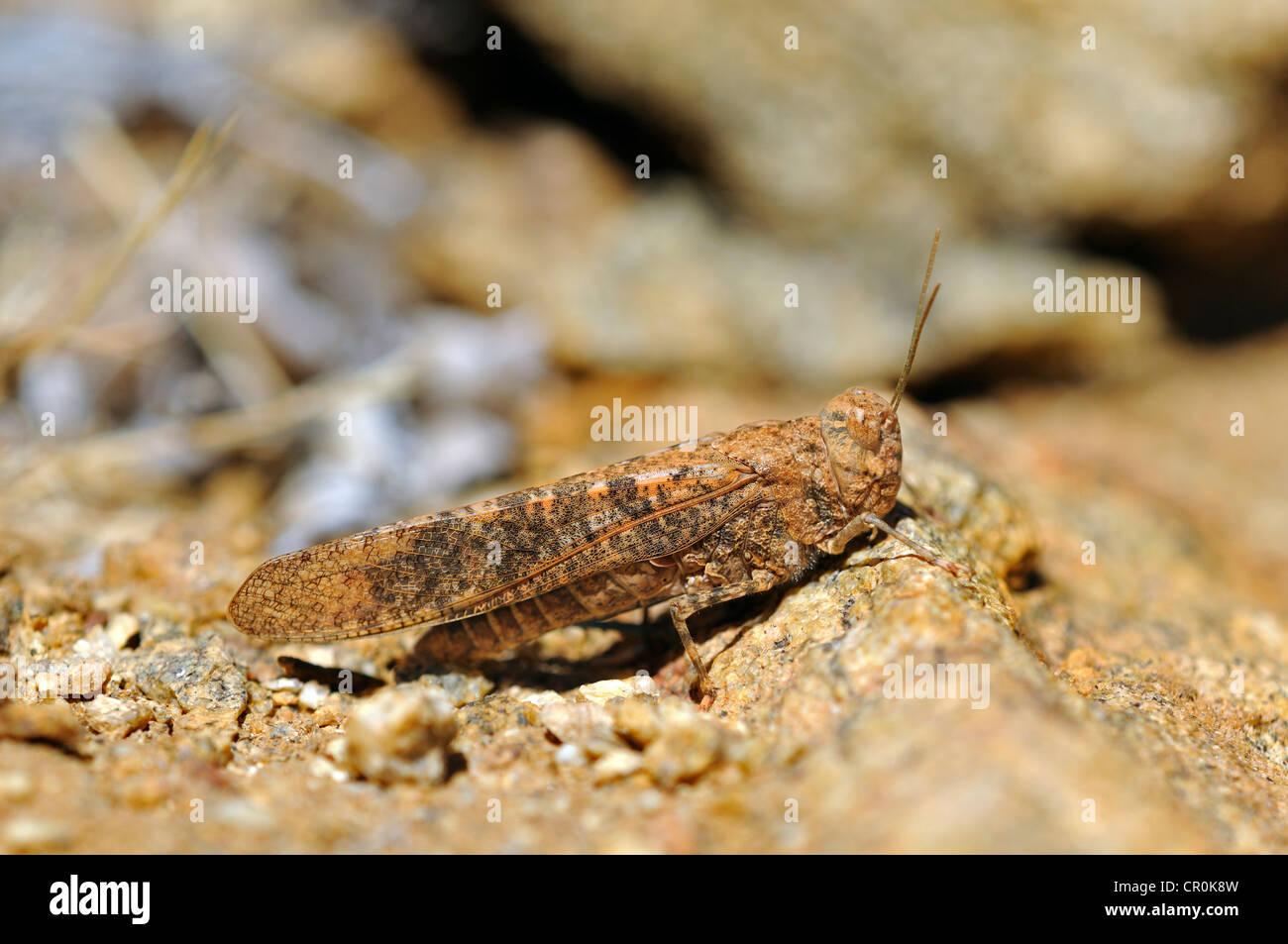 Rock Grasshopper (Conistica Saucia) in perfekte Tarnung der Farbe des umgebenden felsigen Gelände, Naturschutzgebiet Stockbild