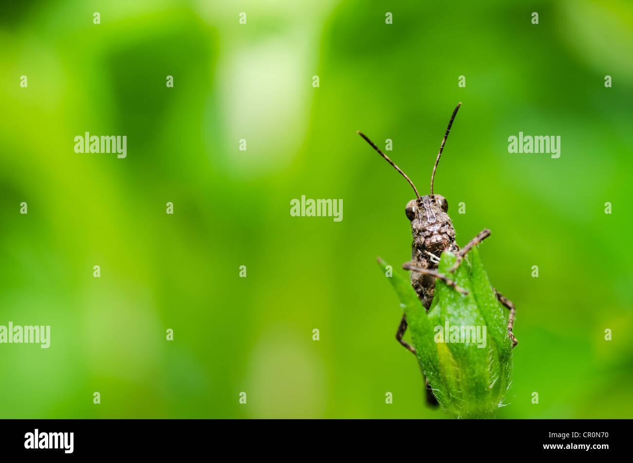Heuschrecke Makro in grüner Natur oder im Garten Stockbild