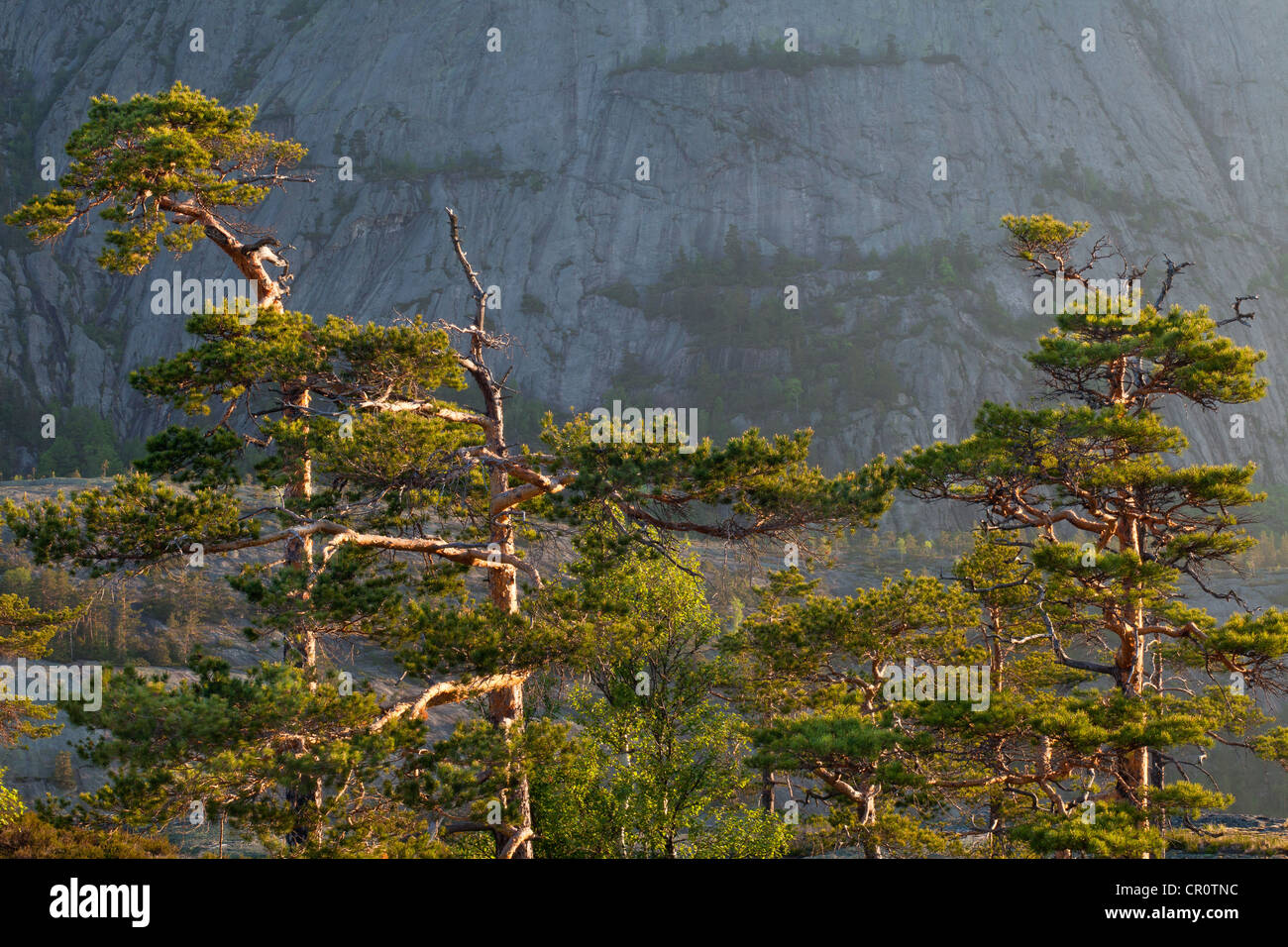 Pinien in der Morgendämmerung, am Måfjell in Nissedal, Telemark Fylke, Norwegen. Stockbild