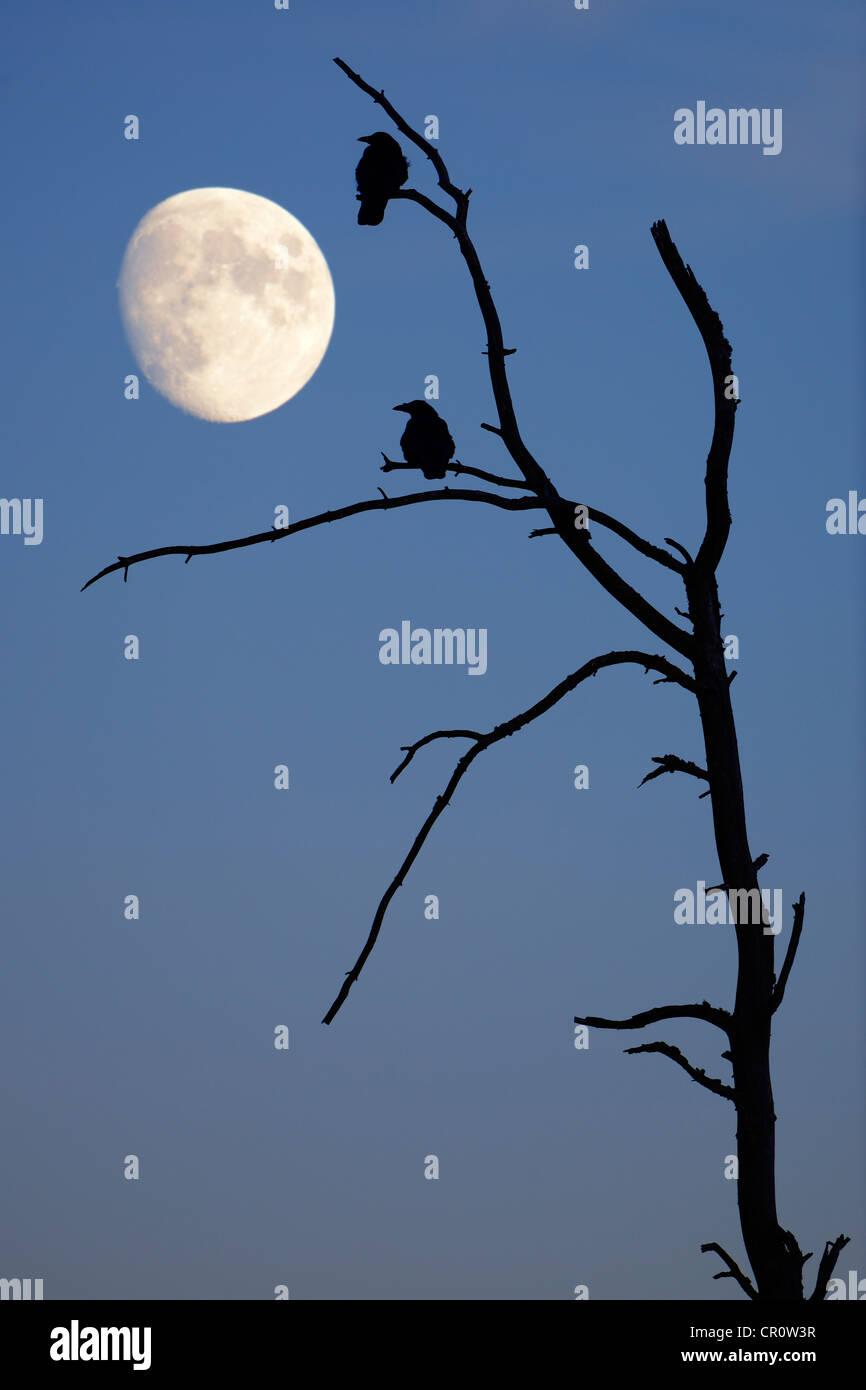 Krähen auf einen alten Baum mit dem Mond, komponieren, Baden-Württemberg, Deutschland, Europa Stockbild