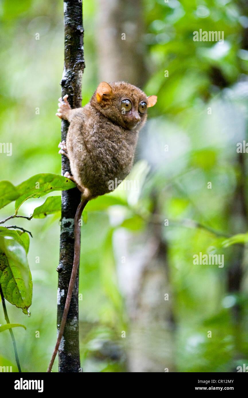 philippinen bohol island tarsier affen eines der kleinsten primaten der welt stockfoto bild. Black Bedroom Furniture Sets. Home Design Ideas
