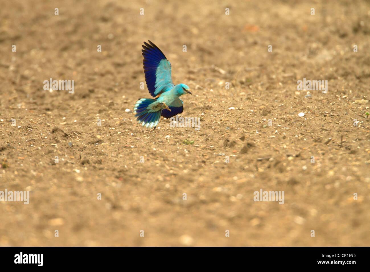 Walze (Coracias Garrulus) sehr seltene MIGRANT Vogel. WAR DER EINZIGE IM VEREINIGTEN KÖNIGREICH IM JAHR 2012 Stockbild